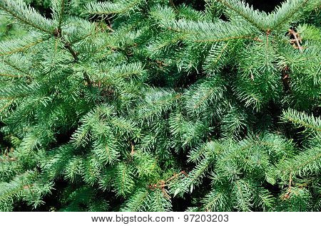 Picea glauca (white spruce). It is also known as Canadian spruce, skunk spruce, cat spruce, Black Hi