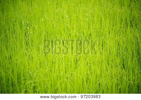 close up green paddy rice background.