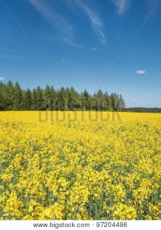 Yellow blooming rapeseed field on a forest