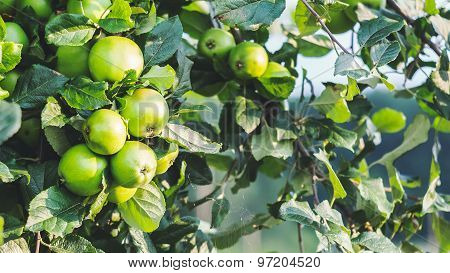 Green apples on a branch, outdoors, selective focus