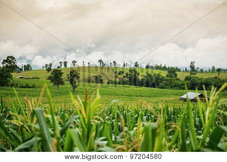 Corn field on the mountain ,Tak Thailand.