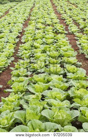 Vegetable field of green Chinese cabbage. Tak province ,Thailand.