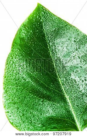 Green Leaf Isolated Over White Background. Leaf Texture Macro