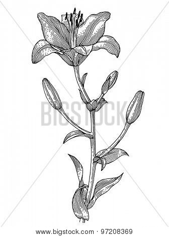 Sprig of blooming lily, black and white graphics