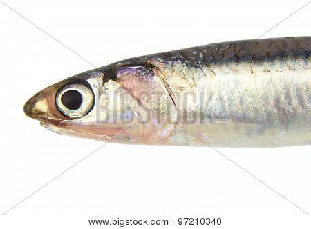 Close up of fresh raw European anchovy isolated on a white background