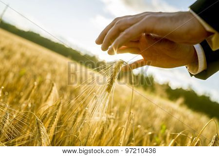 Hand Of A Business Man Reaching Out To Touch Ears Of Golden Wheat