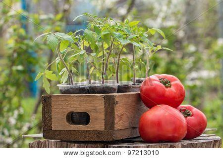 Young Tomato Seedlings