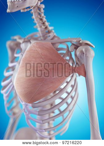 medically accurate illustration of the pectoralis major