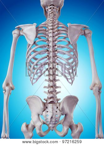 medically accurate illustration of the skeletal back