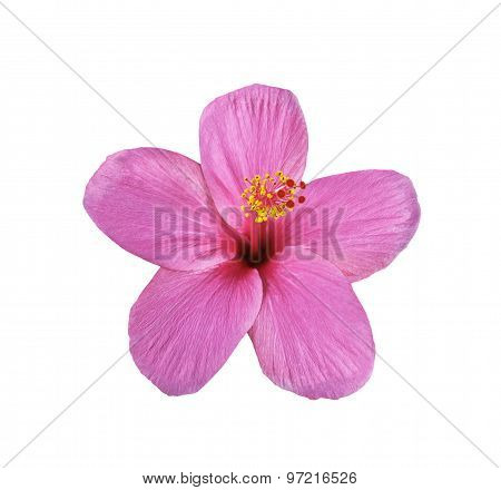 Pink Hibiscus On White