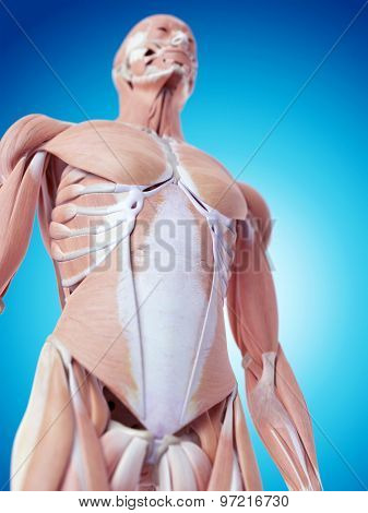 medically accurate illustration of the abdominal muscles