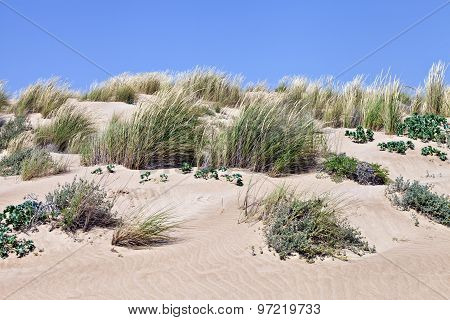 Protected natural environment of sand dunes with wild grasses and plants in the wind on a sunny summ