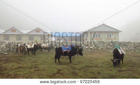 Yak (dzo) Herd Waiting