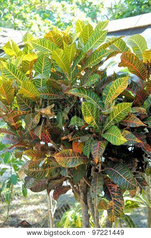 CODIAEUM. Croton. Evergreen shrub with stiff leaves.