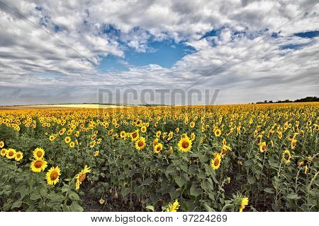 Gold field of sunflowers. Somewhere in the Ukraine.