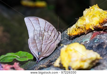 Koh-i-noor Butterfly