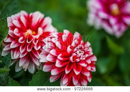 Red Dahlia Flowers On Blur Green Background