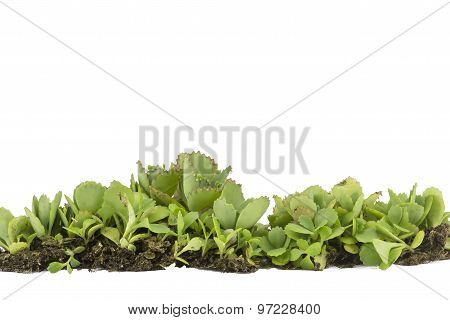 Weed  With  Soil