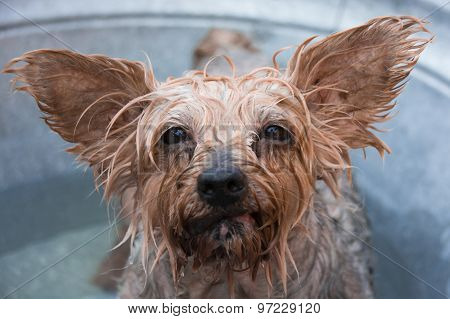 The face of a wet dog, a Yorkshire terrier