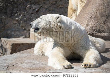 Big Polar Bear Closeup Lying Having Extended Paws