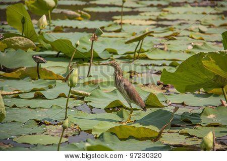 Chinese Pond Heron And Lotus Pond.