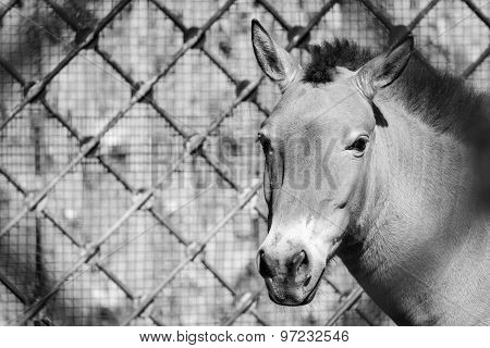 Front Muzzle Of A Horse Gray Color In Full-face