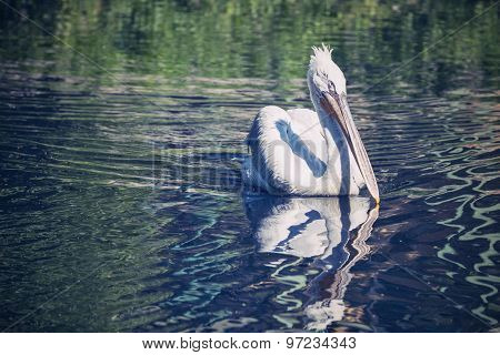 The White Pelican Closeup Floats On River Water