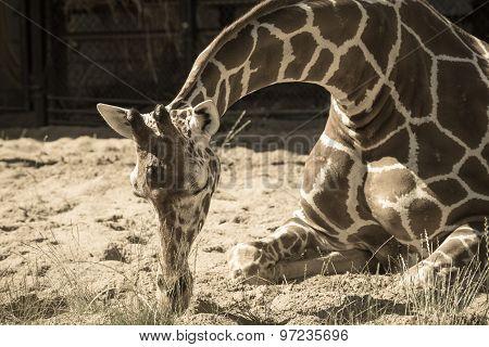 Giraffe Sits On Sand And Sleeps In Tone Sepia