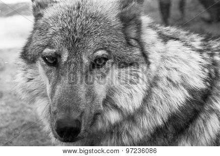 Fragment Muzzle Gray Wolf Of Monochrome Tone