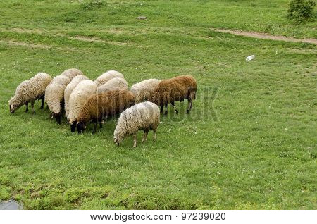 View of field, acacia forest and  group sheep