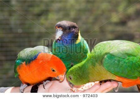 Hand Feeding Parrots