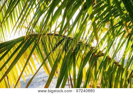 Natural Background With Palm Tree Leaves And Sun Reflection. Cuba, Caribbean Sea. Soft Focus.