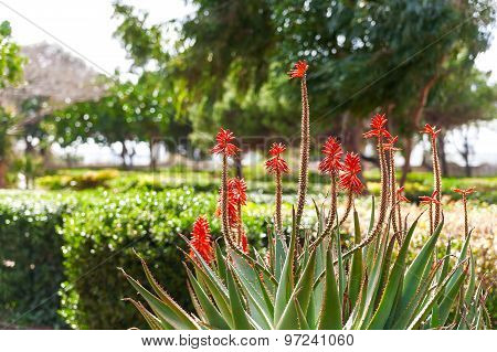 Natural Background With Blooming Aloe Flowers. Valletta, Malta.