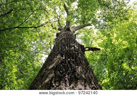 Old Huge Oak Tree Trunk