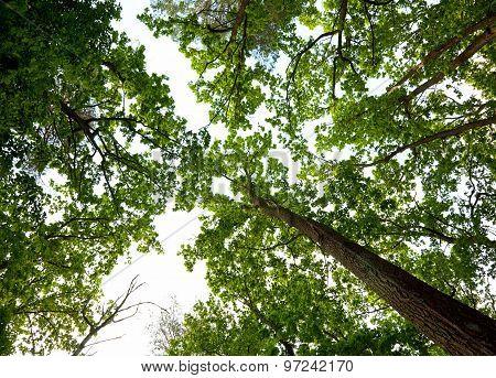 Oak Woods Canopy