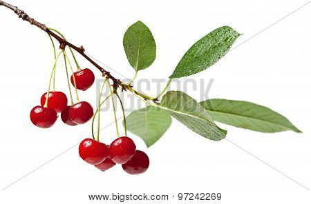 Cherry Brunch With Leaves