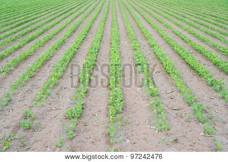 Celery plantation, early stage