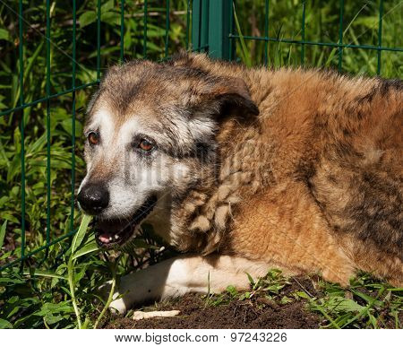Old Red Dog Lying On Green Grass