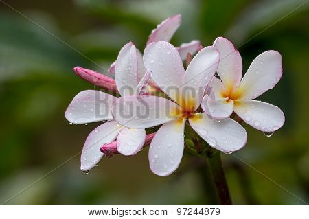 Frangipani Flower At Full Bloom During Summer , Plumeria