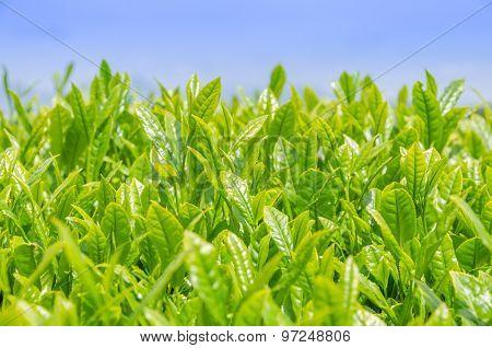 Japanese Green Tea Field In Shizuoka, Japan