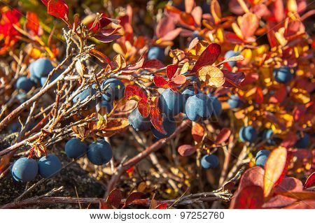 Many black blueberries on a bush with red leaves.