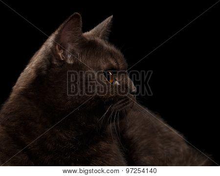 Closeup Brown British Cat In Profile On Black