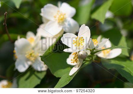 Jasmine branch