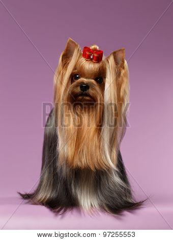Closeup Portrait Yorkshire Terrier Dog On Purpure