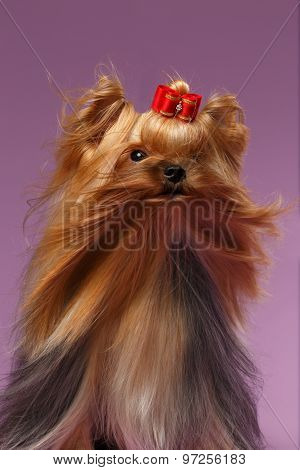 Closeup Portrait Yorkshire Terrier Dog With Fan On Purpure