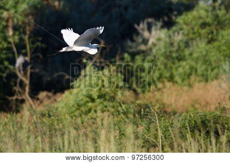 White Great Egret Flying Above The Marsh