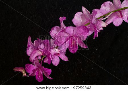 Dendrobium Pink Orchid In Rain Drop