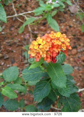 Orange Flower1