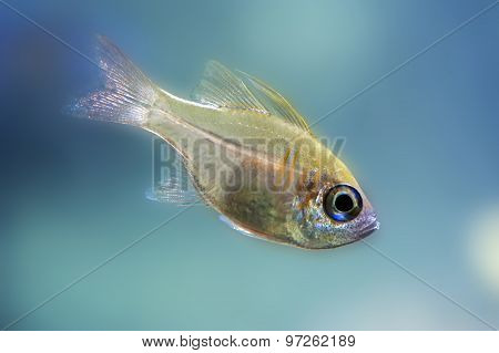 Indian glassy fish - Parambassis ranga