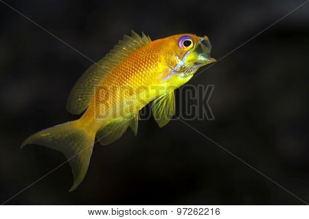 Gape fish - Sea goldie - Anthias -Pseudanthias squamipinnis female